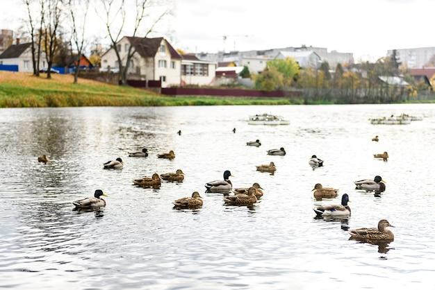 Kaczki w pobliżu stawu w parku jesienią.