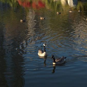 Kaczki w stanley parku w vancouver, kolumbiowie brytyjska, kanada