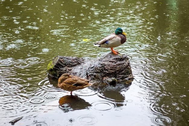 Kaczki w stawie podczas ulewnego deszczu jesienią