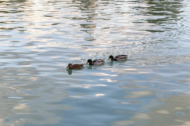 Kaczki w wodzie w stawie parku retiro