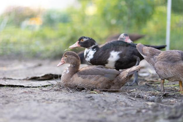 Kaczki w zagrodzie na farmie