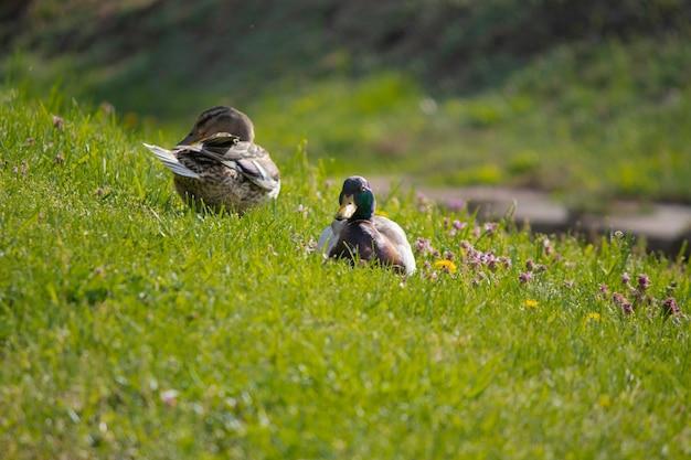 Kaczki wygrzewają się w słońcu na zielonym trawniku wiosną pierwsze ciepłe słońce dla kaczek