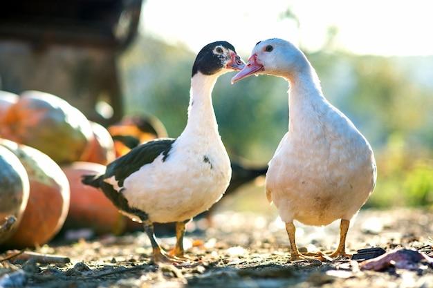 Kaczki żywią się na tradycyjnym wiejskim podwórzu. szczegóły głowy kaczki. zbliżenie ptaków wodnych stojących na podwórku stodoły. koncepcja hodowli drobiu na wolnym wybiegu.