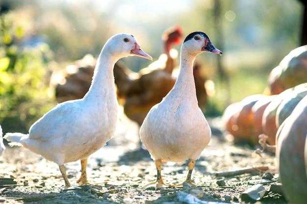 Kaczki żywią się tradycyjnym wiejskim podwórkiem. szczegół głowy kaczki.