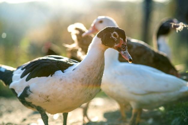 Kaczki żywią się tradycyjnym wiejskim podwórkiem