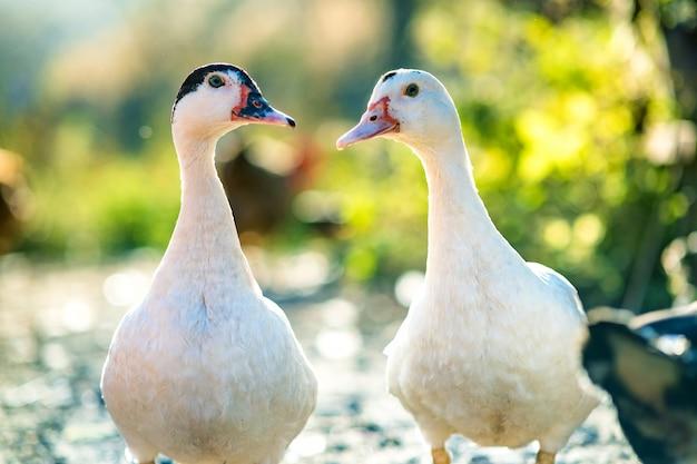 Kaczki żywią się tradycyjnym wiejskim podwórzem. szczegół głowa kaczki. zamyka up waterbird pozycja na stajnia jardzie. chów drobiu z chowu na wolnym wybiegu.