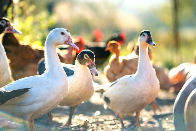 Kaczki żywią się tradycyjnym wiejskim zagrodem