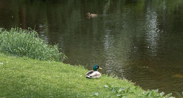 Kaczor i kaczka nad rzeką w wiosenny poranek. sceny z dzikiego życia. obserwowanie ptaków. piękno przyrody. skopiuj miejsce na tekst.