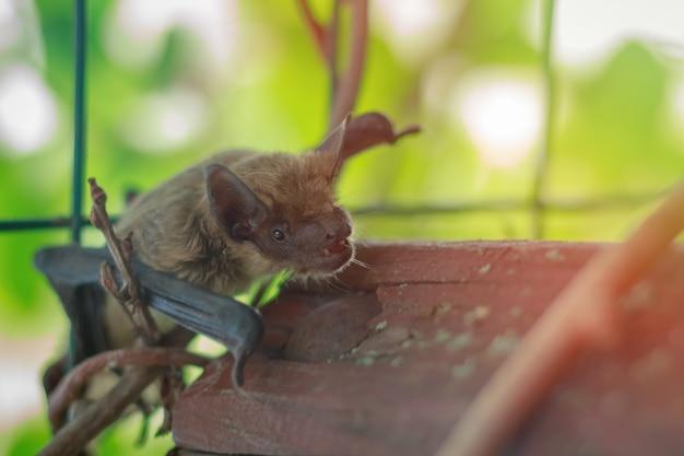 Kaganiec nietoperz z bliska w przyrodzie