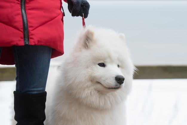 Kaganiec samojeda białego psa z bliska na smyczy na śnieżnej drodze balta kapa w saulkrasti, łotwa