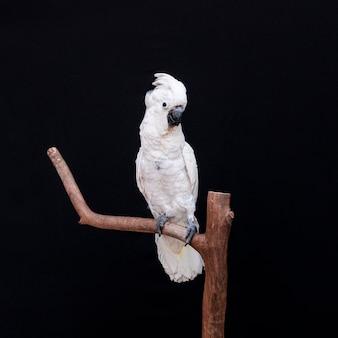 Kakadu biały zbliżenie z czarnym tłem.