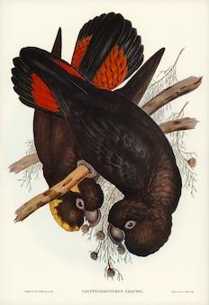 Kakadu (calyptorhynchus leachii) zilustrowane przez elizabeth gould