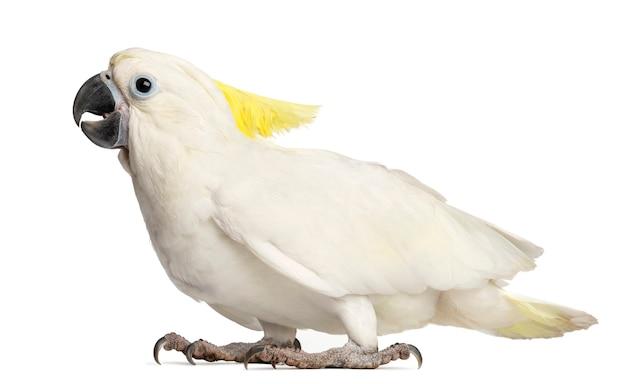 Kakadu czubata siarkowa, cacatua galerita, 9 tygodni na tle białej przestrzeni
