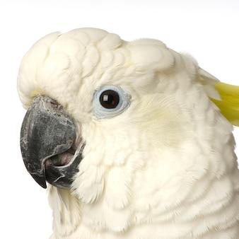 Kakadu na białym tle