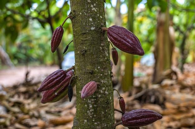 Kakao z owocami. na drzewie rosną żółto-zielone strąki kakao
