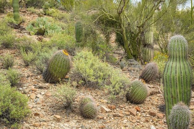 Kaktus beczkowy