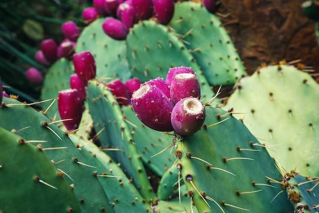 Kaktus cowtongue rośnie w ogrodzie botanicznym