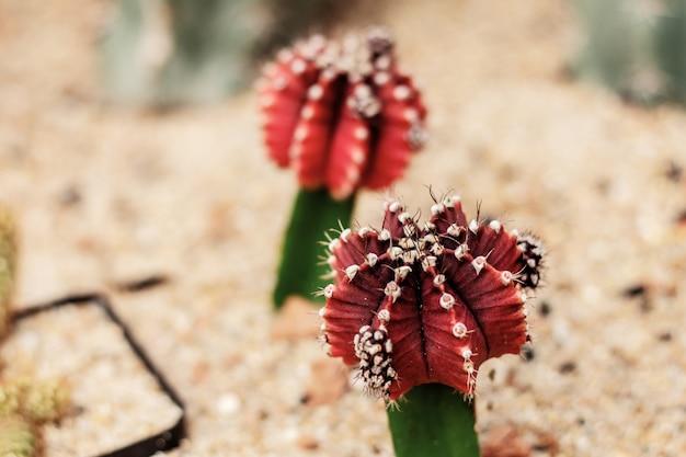 Kaktus czerwony na ziemi.