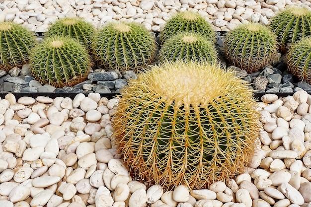 Kaktus echinocactus grusonii w ogrodzie.