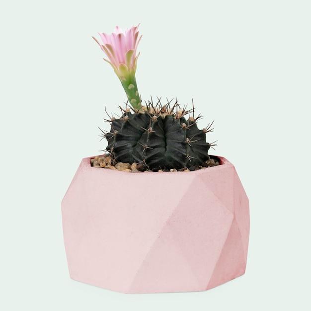 Kaktus echinopsis z różowym kwiatem