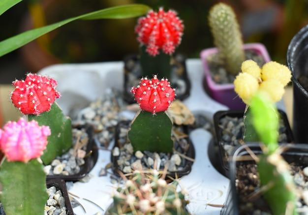 Kaktus gymnocalycium lub kaktus podbródkowy rosnący w doniczce