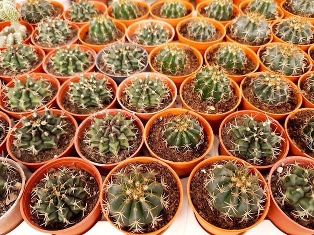 Kaktus gymnocalycium na farmie kaktusów