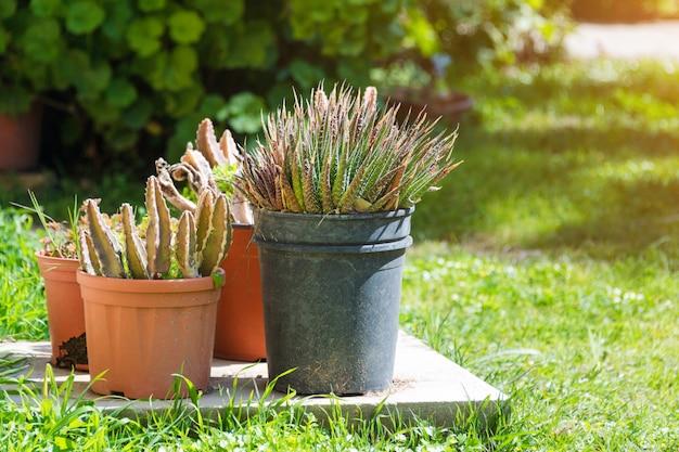 Kaktus i sukulent grupa w garnku plenerowym w ogródzie. śliczna pustynna tropikalna roślina. różne kaktusy. wiele kaktusów.