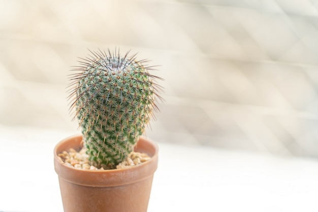 Kaktus kaktus w doniczce do dekoracji