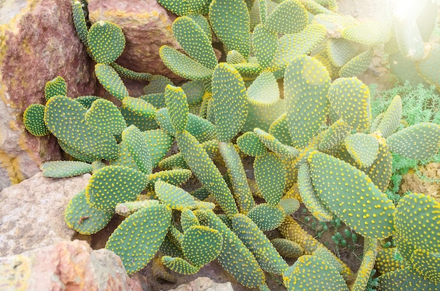 Kaktus na tropikalnych pustyniach ameryki północnej z bliska.