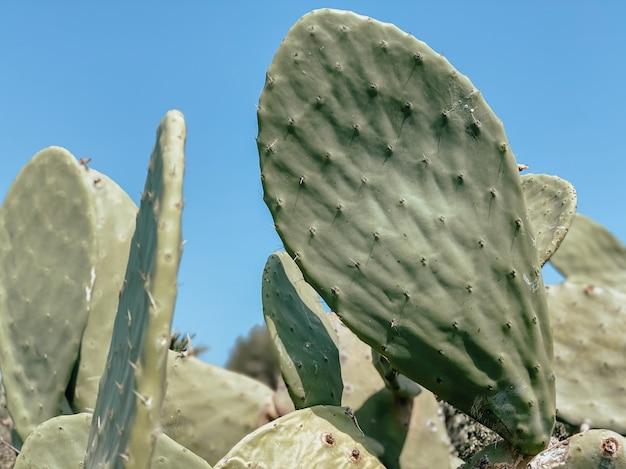 Kaktus opuncja w sercu uzdrowiska. koncepcja turystyki i podróży. lato w tle.