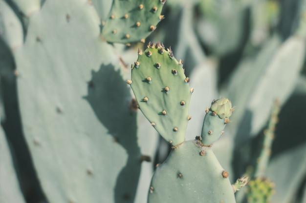 Kaktus opuntia humifusa w słoneczny dzień