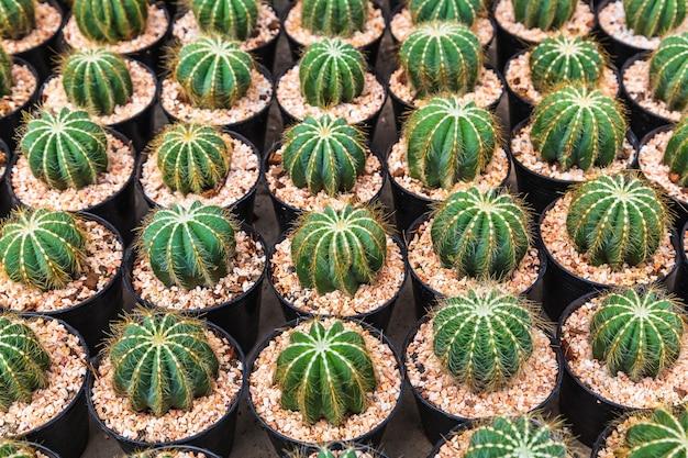 Kaktus w doniczkach