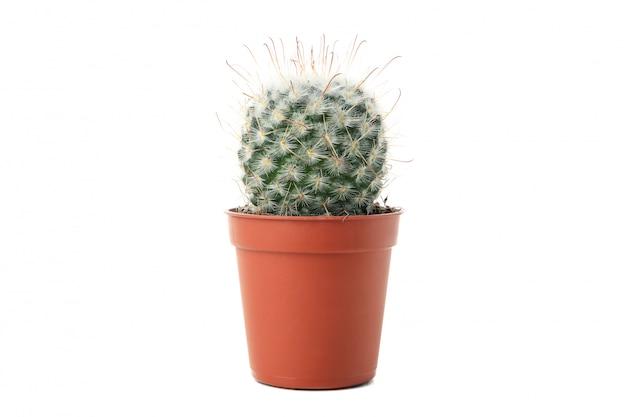 Kaktus w garnku odizolowywającym