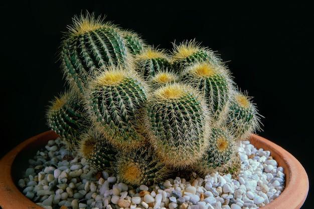 Kaktus w glinianym garnku z czarnym tłem