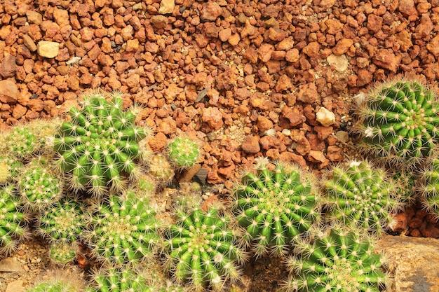 Kaktus w kaktusowym ogrodowym odgórnym widoku.