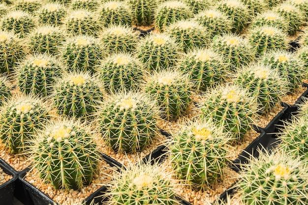 Kaktus wiele wariantów w puli do sadzenia ułożone w rzędy wybierz i nieostrość.