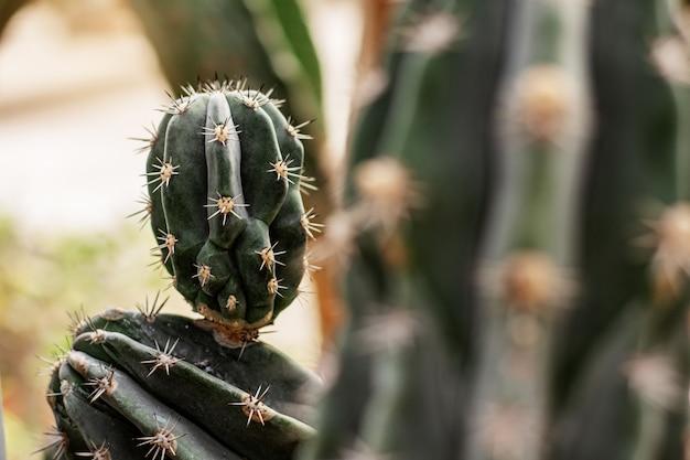Kaktus z niebezpiecznym cierniem.