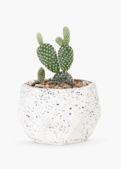 Kaktus z uszami królika w doniczce