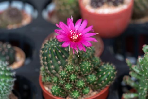 Kaktusowy kwiat w garnku przy biurem