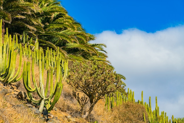 Kaktusy i palmy na wzgórzu przeciw błękitne niebo z chmurami. teneryfa, hiszpania