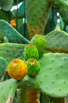 Kaktusy opuncje z pomarańczowymi i zielonymi owocami