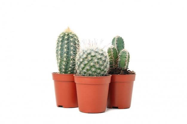Kaktusy w doniczkach na białym tle