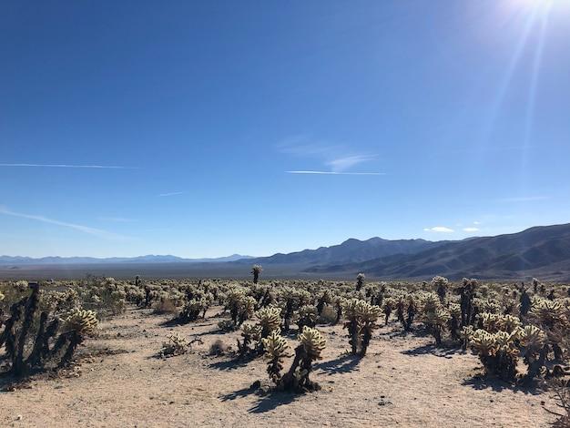 Kaktusy w parku narodowym joshua tree, usa