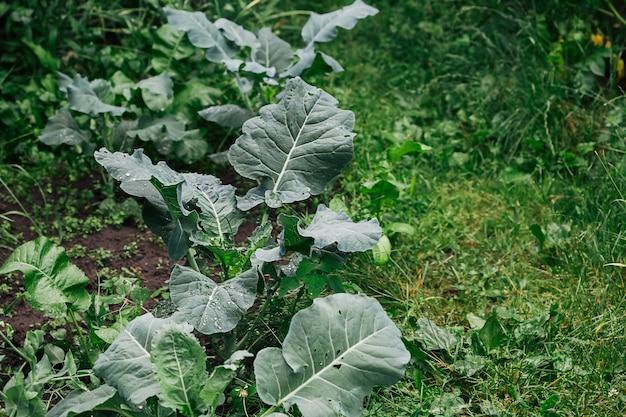Kalafior, główka kapusty w ogrodzie.