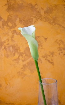 Kalii lelui kwiat na ścianie