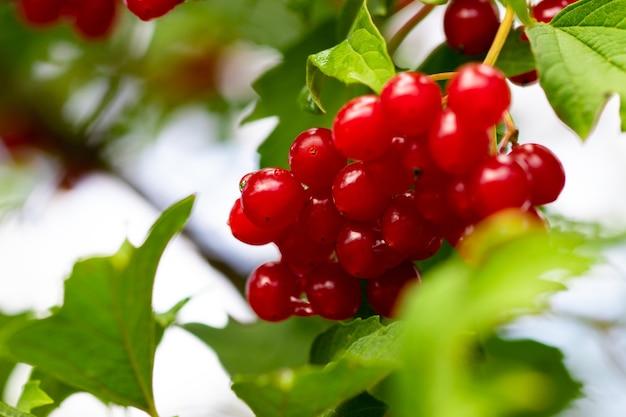 Kalina Czerwona (kalina Opulus) Zbliżenie W Ogrodzie. Premium Zdjęcia