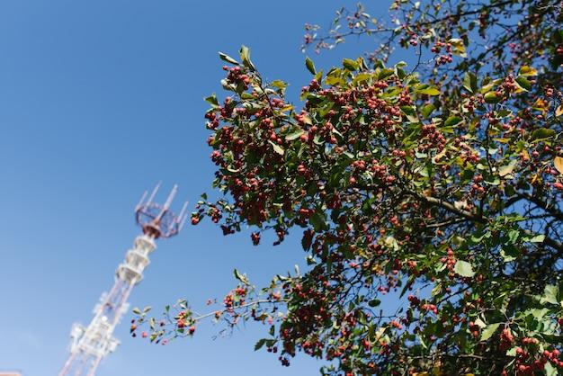 Kalina czerwone jagody i wieża telewizyjna