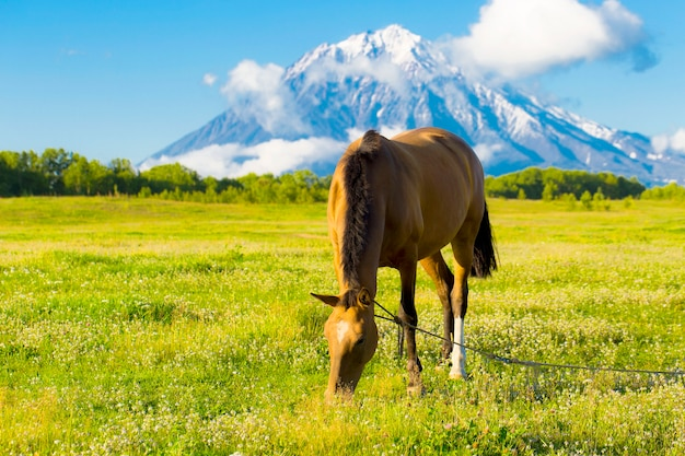 Kamczatka. piękny koń pasie się jesienią na zielonej łące