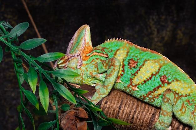 Kameleon (chamaeleo calyptratus) na czarnym tle.