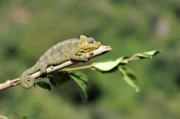 Kameleon chodzi po gałęzi drzewa